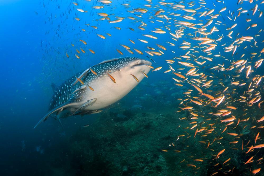 Les meilleurs spots de plongée pour voir les requins baleines en Thaïlande
